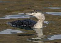 Strolaga minore - Gavia stellata - Red-throated Loon