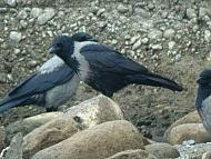 Cornacchia grigia X nera - Corvus cornix X corone - Hooded Crow X Carrion